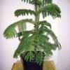 Підкажіть як доглядати за amaryllis щоб він розцвів