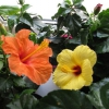 Купила квітка азалія підкажіть будь ласка як за ним правильно доглядати