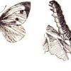 Метелики шкідники капусти: капустяна білявка і капустяна совка