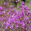 Багно - сибірський рододендрон, види, агротехніка
