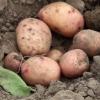 Бактеріальні хвороби картоплі, способи боротьби з ними та профілактика