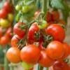 Бактеріальні захворювання помідорів