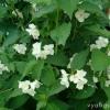 Чи можна з квітів жасмину-чубушника заваріват чай?
