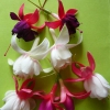 Чому не цвіте еухарис (амазонська лілія)?