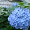 Чи можна пофарбувати квітки гортензії в блакитний колір, або це сортові особливості?