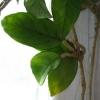 Купила насіння аспарагуса шпренгера, скільки буде потрібно часу, щоб воно стало схоже на