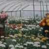 Садова гортензія