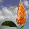 Глоксинія і фіалка - це різні квіти чи ні?