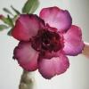 Як доглядати за гіацинтом? Подарували така квіточка, тепер ось стоїть, дивиться на мене)