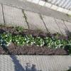 Біла фіалка в весняному саду.