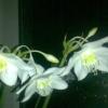 Підкажіть будь ласка чому не цвіте амазонская лілія або еухарис