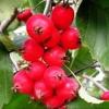 Боярка ягода: корисні властивості