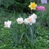 Як правильно доглядати за подарованими хризантемами в горщику?
