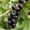 Хвороби і шкідники чорної смородини і способи боротьби з ними