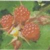 Хвороби малини, їх профілактика, боротьба з хворобами малини