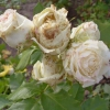 Хвороби троянд