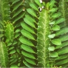 Посадила оду гілочку заміокулькаса