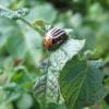 Боротьба з колорадським жуком без застосування хімії