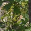 Боротьба з весняним авітамінозом за допомогою листа чорної смородини