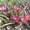 Ботанічні тюльпани прекрасні і ароматні