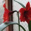 Так і не знаю..амаріліс і гіппеаструм це одті квітка або різні?