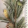 Цілюща сосна, рослина від застуди