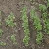 Цілющі рослини і чагарники на вашому городі