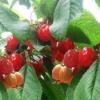 Церападус в саду, гібрид вишні і черемхи, біологічні особливості, досвід вирощування