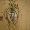 У кого вдома росте ноліна? Розкажіть про неї. Капризно чи ця рослина? Як доглядаєте?