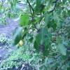 Чим хворіє груша? Фото прикладаю.