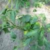Чим хворіє солодкий перець? Фото листя прикладаю.