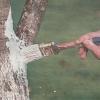 Чим і як пофарбувати штамби плодових дерев для захисту від сонячних опіків і шкідників