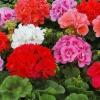 У чому відмінність пеларгонії від багаторічних садових герань у вигляді рослин в контейнерах?