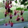 Які правила догляду (полив, сонце, грунт, перезимовка та ін.) для рододендрона (не цвіте поки?
