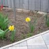 Чому в цьому році не цвіте зефирантес? Може цибулинки треба розсадити?