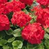Чим підгодувати герань для пишного цвітіння?