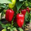 Чим підгодувати перці? Органічні і мінеральні добрива