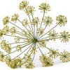 Чим корисні насіння кропу