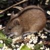 Чим же харчується полівка в степу, лісі, тайзі і на лузі? Чи є польова миша всеїдною?
