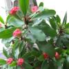 Який квітка простіше виростити антуріум або спатифиллум?