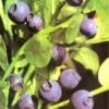 Чорниця, ягода в саду, опис, фото, лікувальні властивості