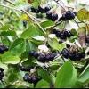 Чорноплідна горобина - вирощування і догляд