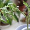 Що робити, якщо у розсади томатів почали в`янути листя?