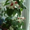 Чи не цвіте клеродендрум томсона