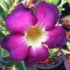 Що робити з амарилісом після цвітіння