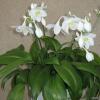 Чому гібіскус називають квіткою кохання?