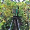 Що робити з огіркової бадиллям восени?