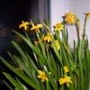 Що для японців означає квітка хризантеми?
