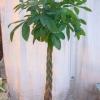 Що є ананас? Плід, стебло або щось ще?