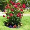 Що це таке троянда флорибунда